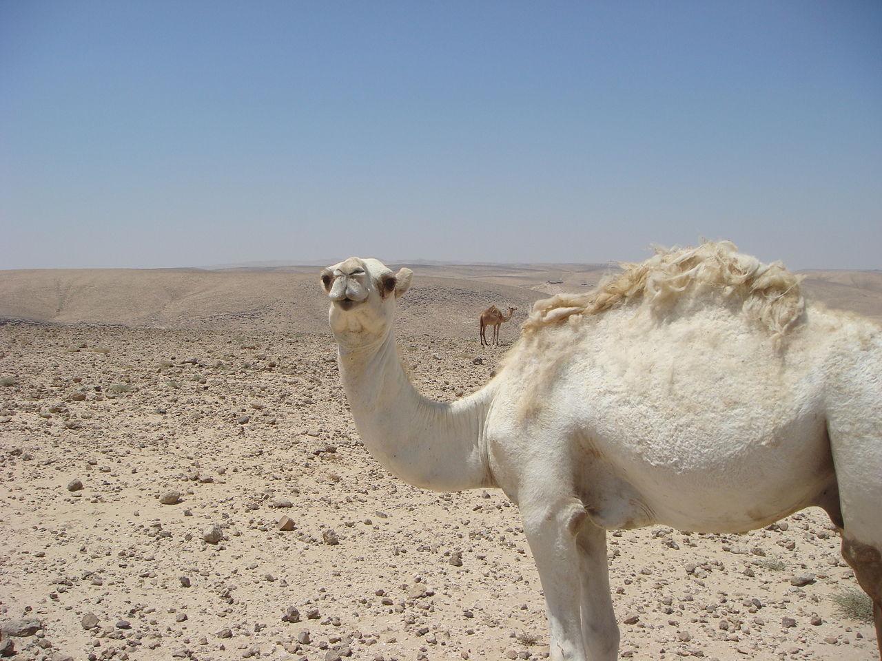 גמלים בנחלן קינה. צילום: ליאור גולגר / CC BY 2.5